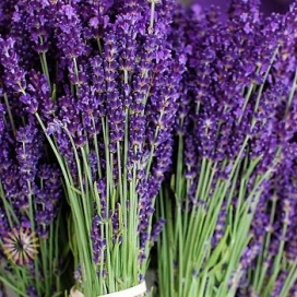 LAVENDER-FRESH-STEMS_opt